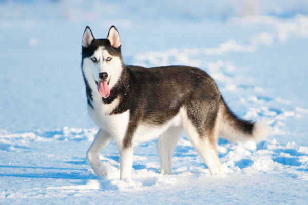 husky_snow