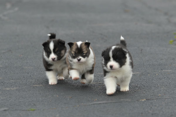 icelandic sheepdog puppies