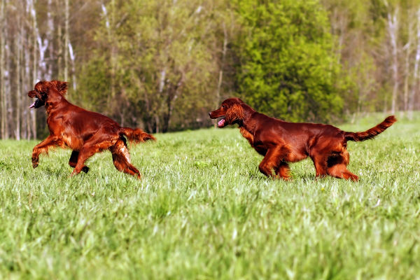 irish setters playing