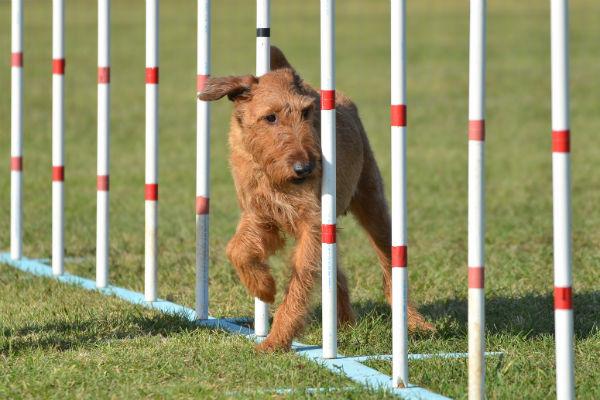 irish terrier2