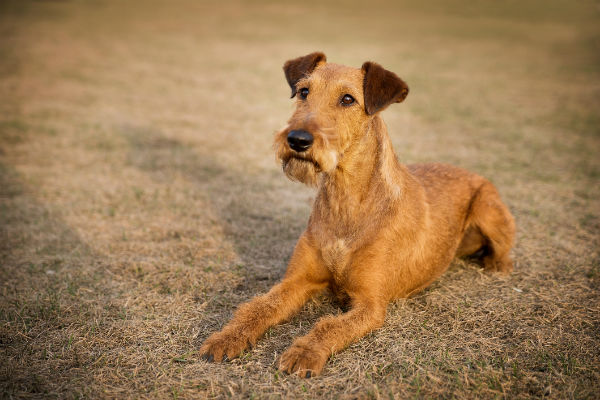 irish terrier3