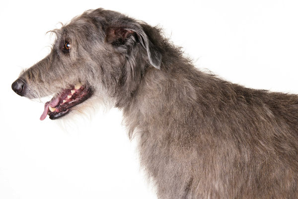 irish_wolfhound_body_image_2