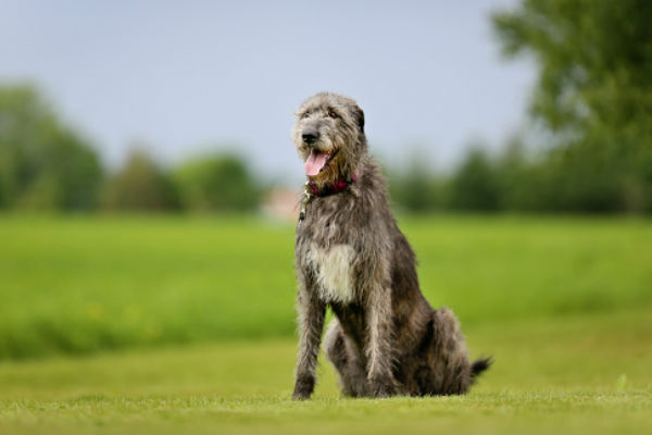 irish_wolfhound_body_image_3