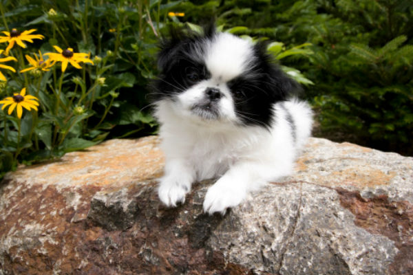 6 Things You Didn't Know About the Japanese Chin – American