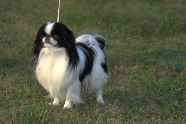 japanese chin body