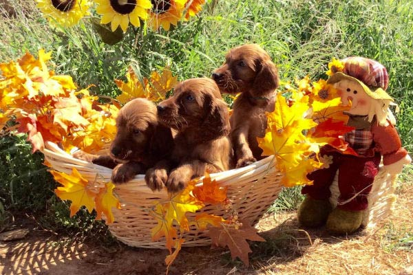 irish setter puppies