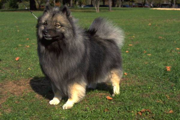keeshond_cold_weather_breeds