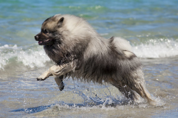 keeshond_tail_body