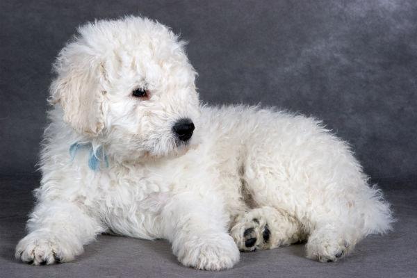 kom puppy