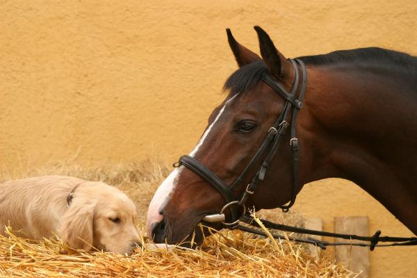 lab_horse