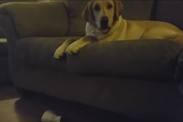 lab puppy drops bone