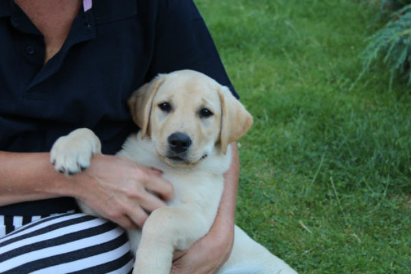 lab_puppy_on_owners_lap