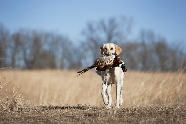 lab bird dog