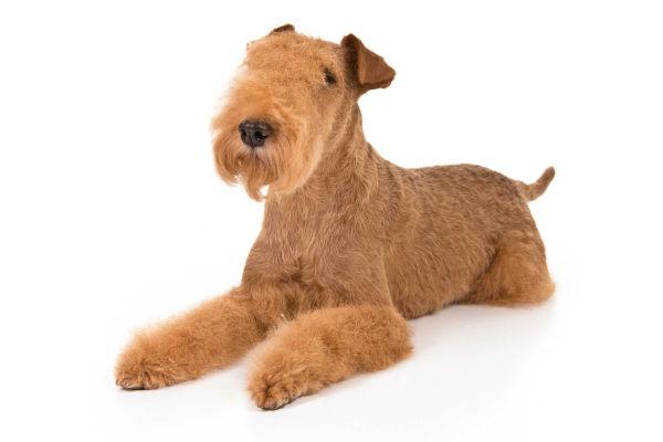 lakeland terrier 2