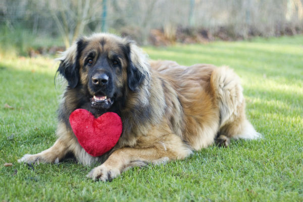 Puppy Love Make Valentine S Day Special For Your Dog American