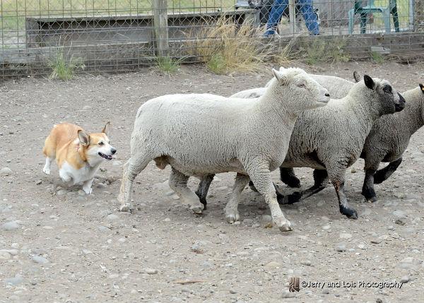 maggie herding at ewe-topia