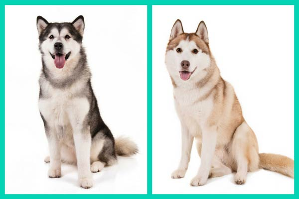 Can You Tell These Dog Breed Look Alikes Apart American Kennel Club