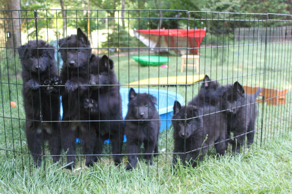 belgian sheepdog puppies