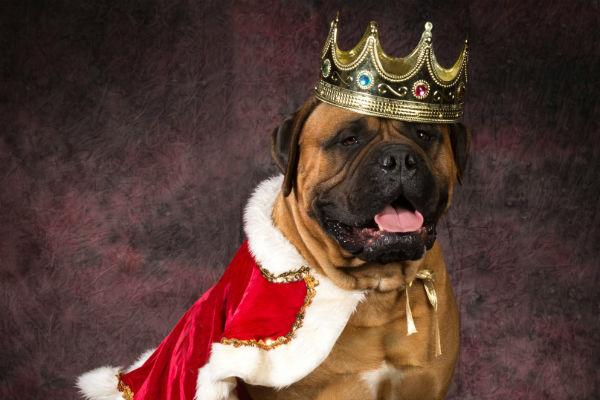 mastiff king