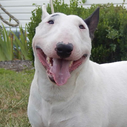 is the miniature bull terrier the right dog for you american
