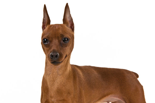 Little Dog Giant Personality The Miniature Pinscher American