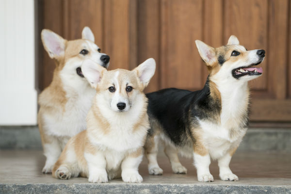multiple_corgis