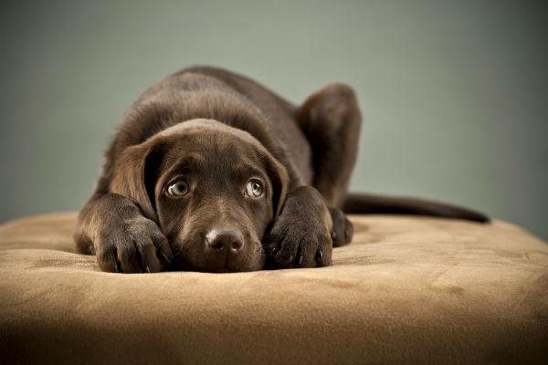 nervous_lab_puppy