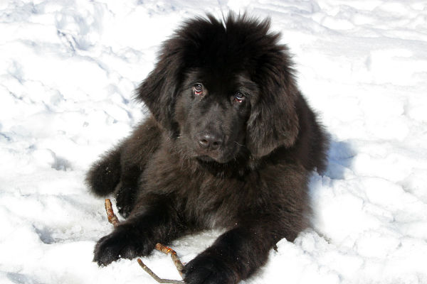 newfoundland_cold_weather_breeds