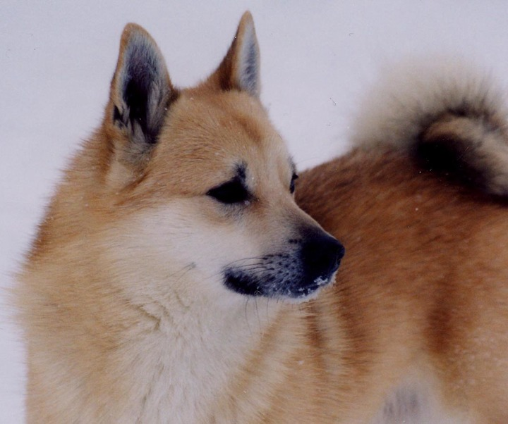 Meet The Norwegian Buhund Dog Of The Vikings American Kennel Club