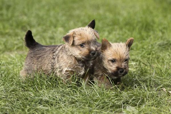norwich terrier puppies