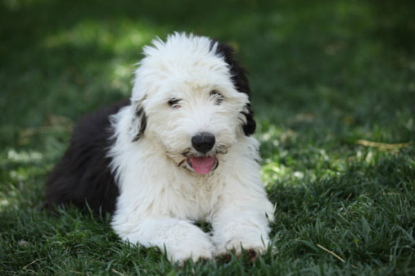 How to Prepare Your Old English Sheepdog for a Show foto