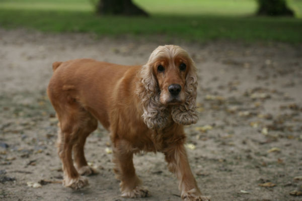 Is There A Cure For Cushing S Disease In Dogs