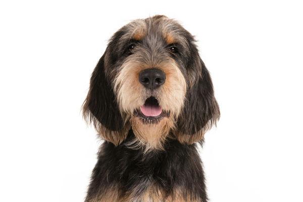 otterhound body image