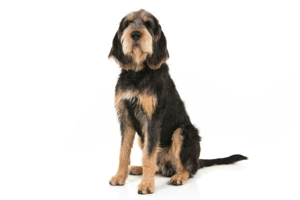 [otterhound water breeds]