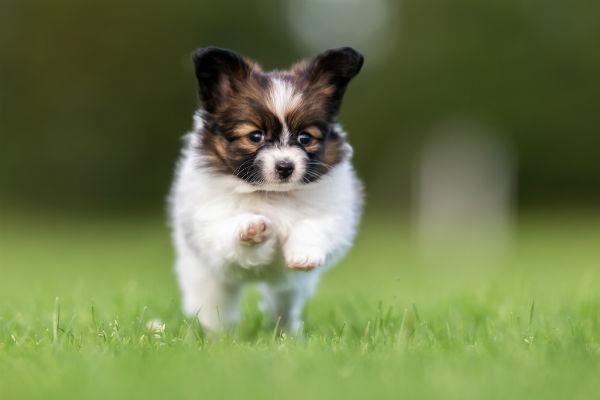 pap pup running