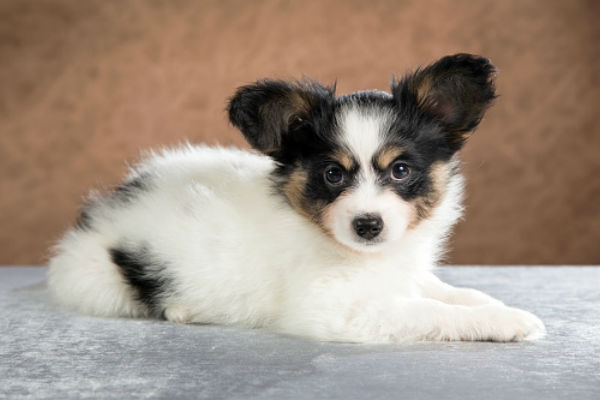 50 Cute Puppies Youll Have To See To Believe American Kennel Club