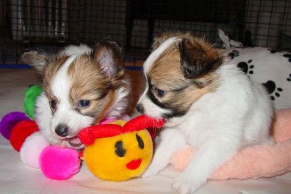 papillon puppies 1