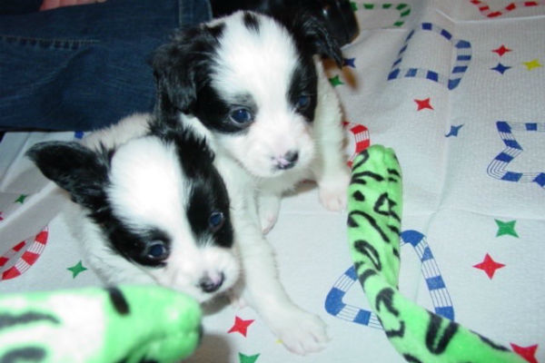 papillon puppies 2