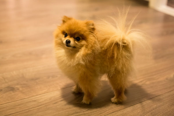 50 cute puppies youll have to see to believe american kennel club pomeranian voltagebd Image collections