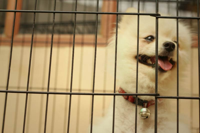 pomeranian in crate