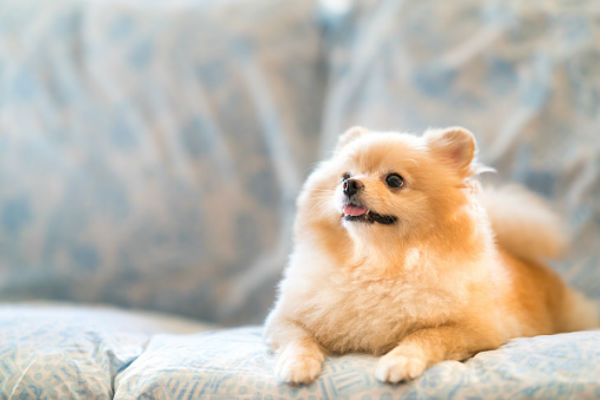 pomeranian on couch