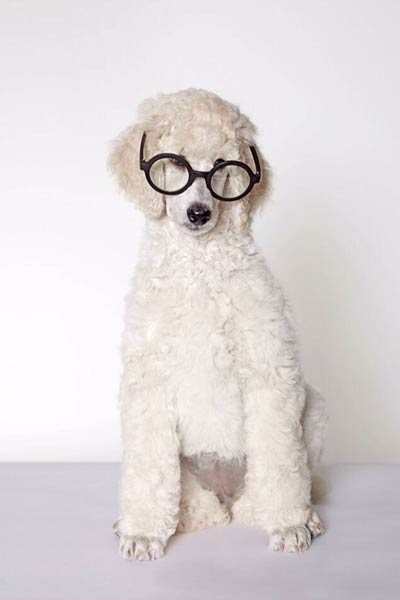 poodle-in-glasses-rocknrolla
