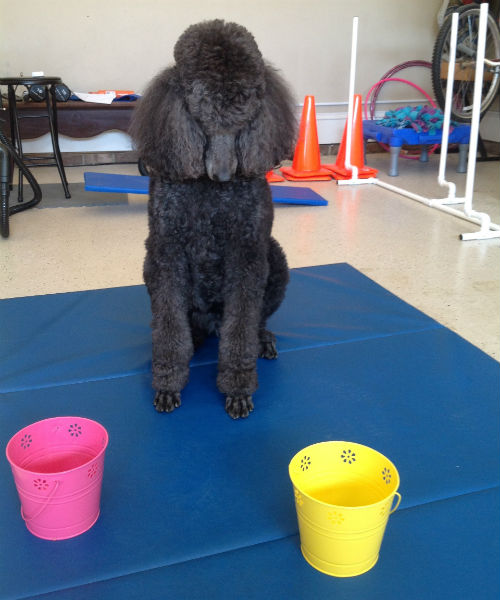 poodle looking at buckets