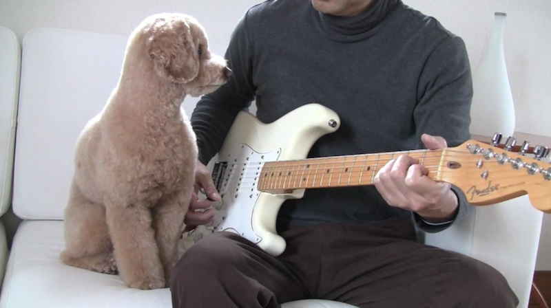 Poodle playing guitar