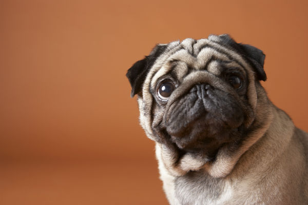 pug_personal_space