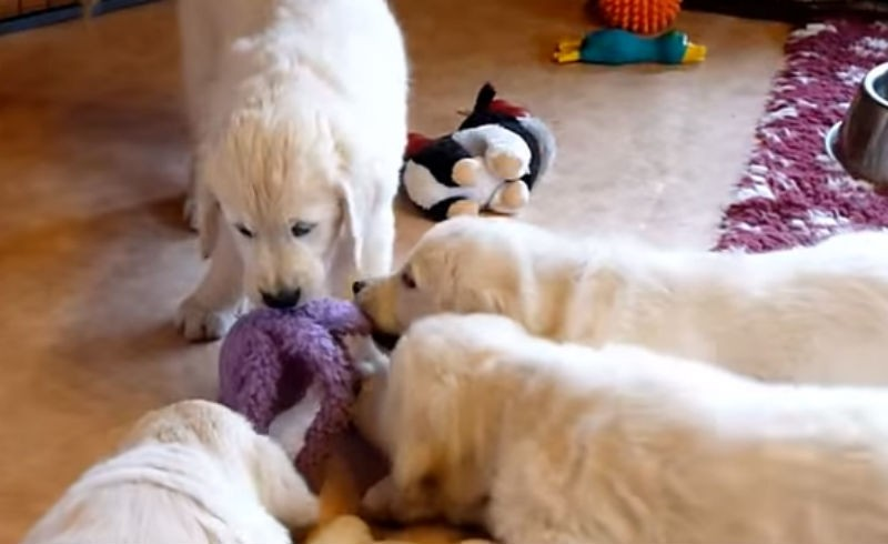 Puppies playing with an octopus
