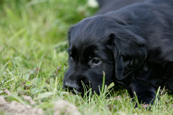 flat coated retriever in grass