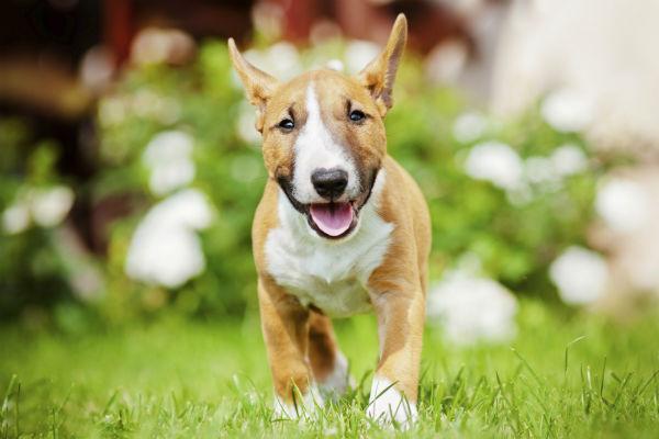 bull terrier running