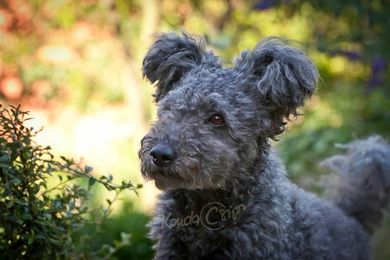 pumi dog breed