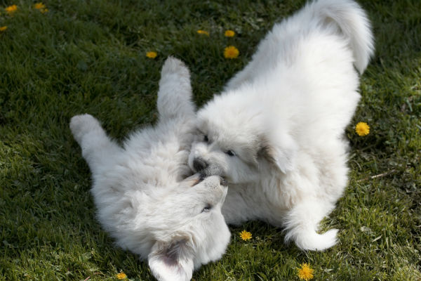 pyr pups playing